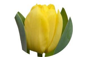 """Купити цибулини тюльпанів безпосередньо з Голландії - від компанії """"Golden Flowerbulbs"""""""