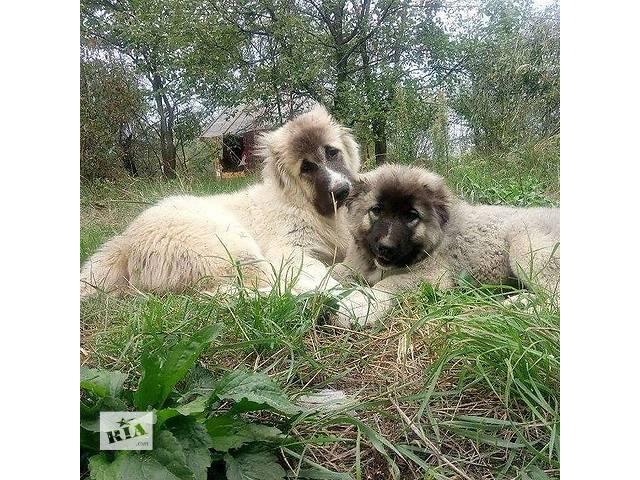 Щенки кавказской овчарки- объявление о продаже  в Киеве