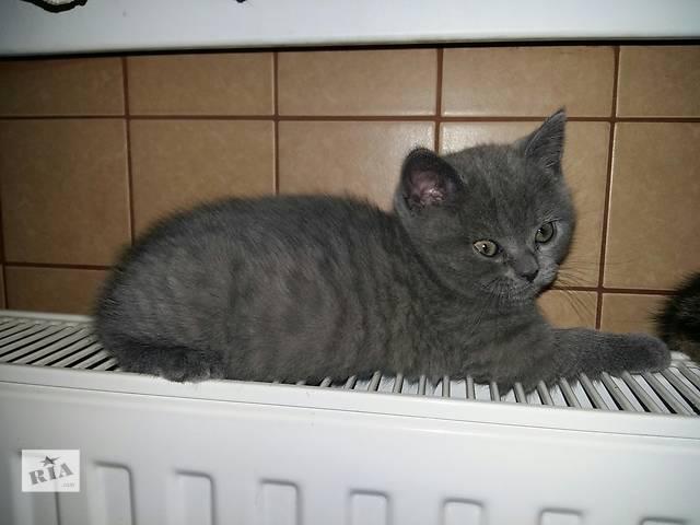 Шотландские котята-девочки страйт- объявление о продаже  в Виннице