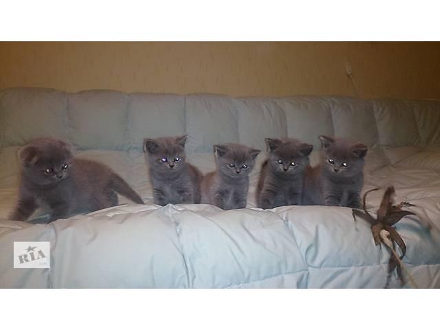 Шотландские котята красавцы классического голубого окраса- объявление о продаже  в Запорожье