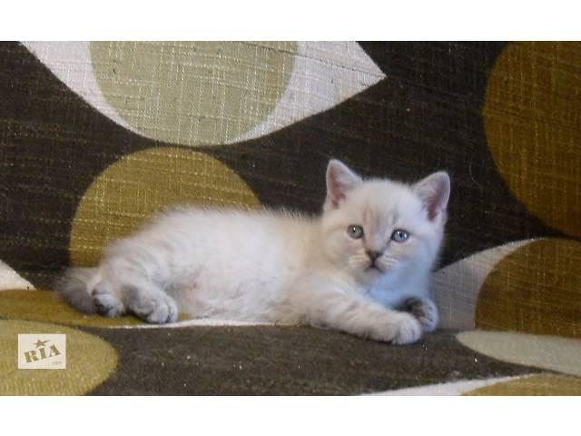 бу шотландские котята, мальчики в Житомире