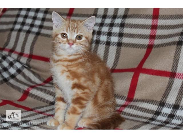 продам Шотландские котята нарядных окрасов бу в Донецке