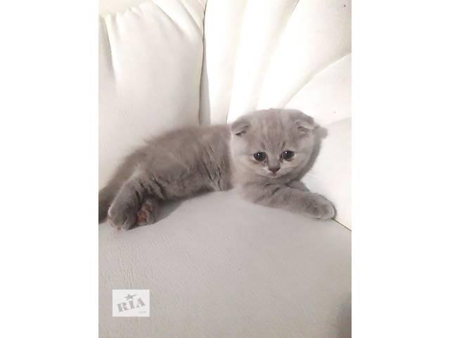 продам Шотландские котята бу в Одессе