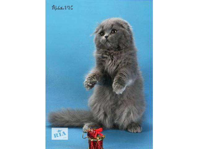 бу Шотландские котята: хайленд фолд и страйт, скоттиш фолд и страйт в Днепре (Днепропетровск)