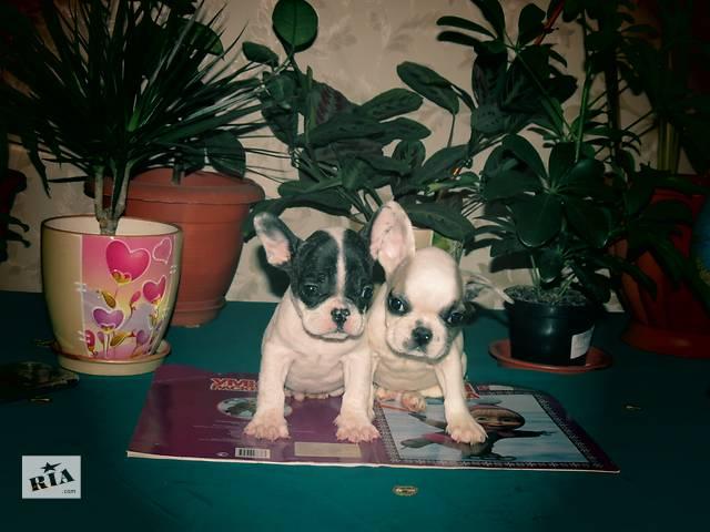 Шикарные щенки французского бульдога- объявление о продаже  в Днепре (Днепропетровск)