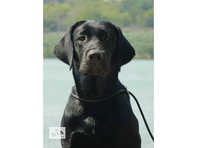 продам шикарный щенок лабрадора, мальчик черного окраса бу в Мариуполе (Донецкой обл.)