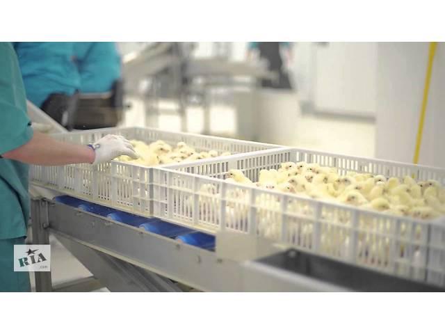 бу Суточные цыплята бройлеры, мясо-яичные, яичные; утята, гусята, индюшата от производителя (Инкубатор) в Новых Санжарах