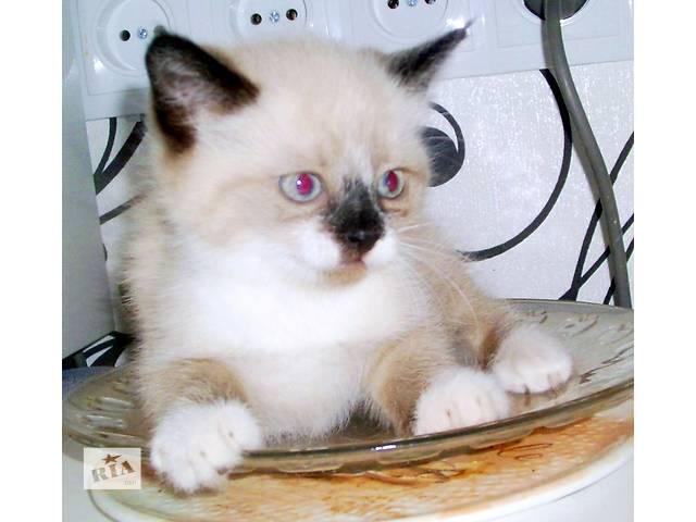 купить бу Сиамские котята(разновидность сноу-шу) в Запорожье