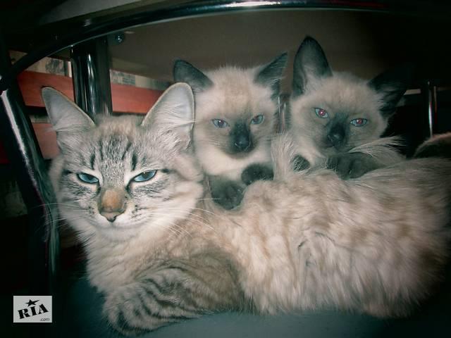 купить бу осталась сиамская кошечька в Бердянске