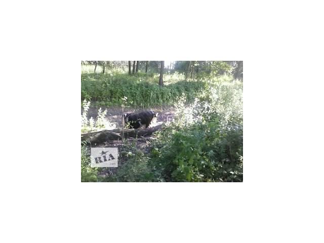 Цена снижена! Срочно!!!племенной козел!(цап)- объявление о продаже  в Борисполе