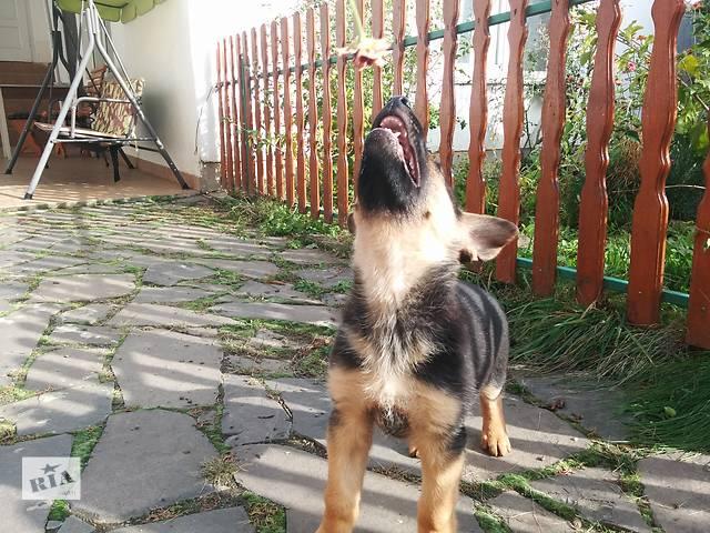 бу Чистокровный щенок немецкой овчарки в Мукачево
