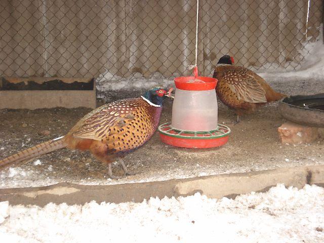 купить бу Инкубаційне яйцо фазана Охотничий, Румынский в Белой Церкви (Киевской обл.)