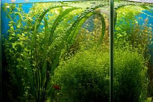 Акваріумні рослини і мохи: криптокорини, ехінодоруси, буцефаландры, анубіаси, апоногетон, прозерпинака, валлиснерия