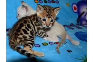 Бенгальские котята! Мальчики и девочки. Отличная цена при ранней брони.