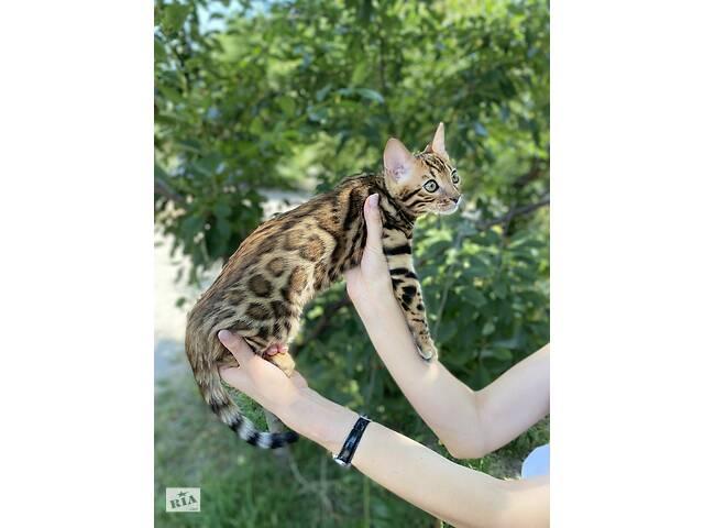 купить бу Бенгальские котята шоу класса в Виннице