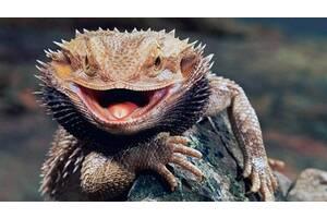 Бородатая агама или бородатая ящерица. Pogona barbata. Ручные дракончики для детей