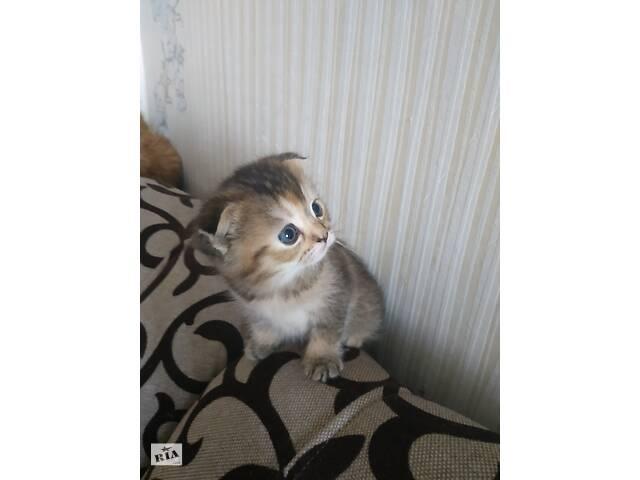 купить бу Британский котёнок (девочка)  в Украине