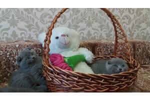 Чистокровні шотландські кошенята (фолди/страйти).