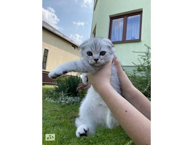 продам Чистокровні веслоухі британські котики  бу в Львове