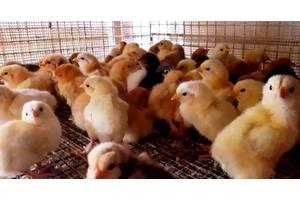 Домашние суточные цыплята, молодняк. Есть 3-4 недельные цыплята