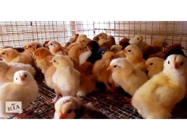 купить бу Домашні добові курчата, молодняк. Є 3-4 тижневі курчата в Івано-Франківську