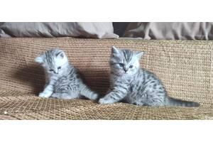 Котята скотиш-фолд и скотиш-страйт