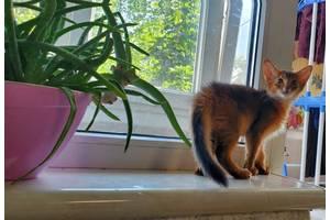 Котик абиссинский (сомали) окрас дикий