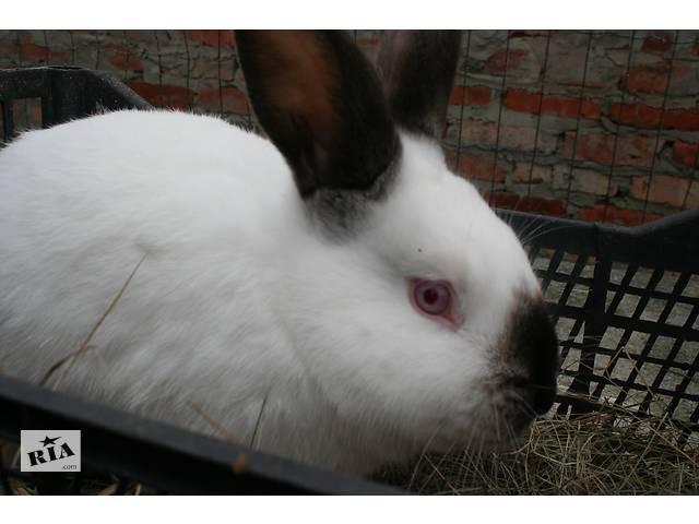 продам кролики калифорния  мясные скороспелые бу в Полтаве