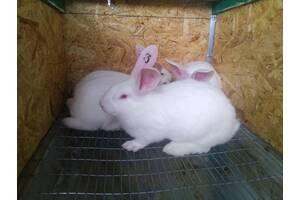 Кролики породы Термонская белая
