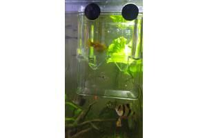 Молінезія жовто-чорна