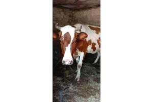 Молодые коровы