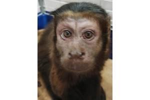 обезьяна капуцин бурый продам