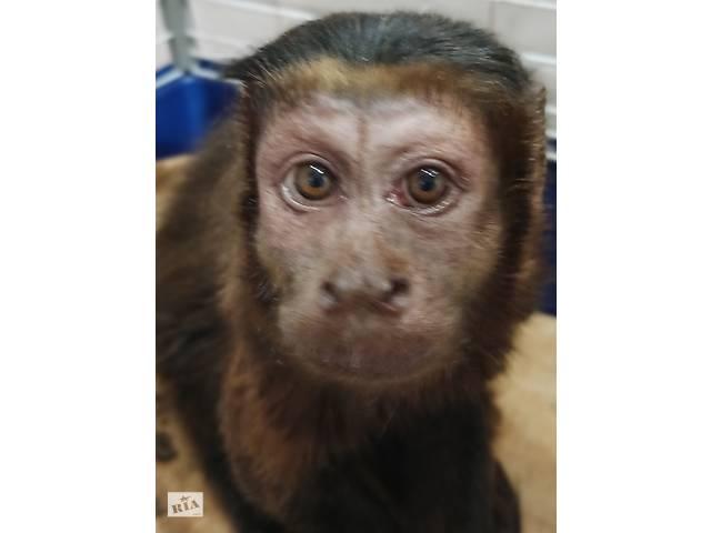 бу Мавпа бурий капуцин продам в Дніпрі (Дніпропетровськ)