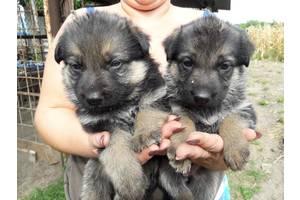 очаровательные немецкие щенки