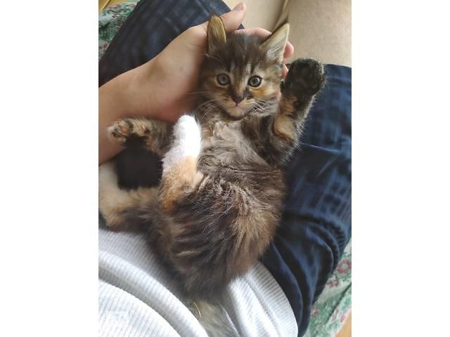 Отдам чудесную трёхмастную кошечку в добрые руки- объявление о продаже  в Киеве