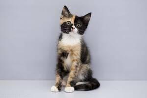 Отдам в хорошие руки котенка девочку Энни .