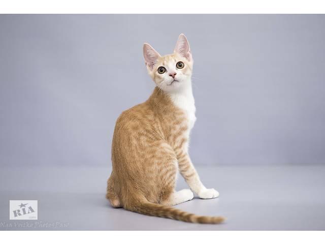 продам Отдам в хорошие руки котенка мальчика Элвиса . бу в Киеве