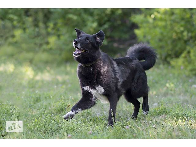 купить бу Отдам в хорошие руки крупного милого пса Халка.  в Киеве