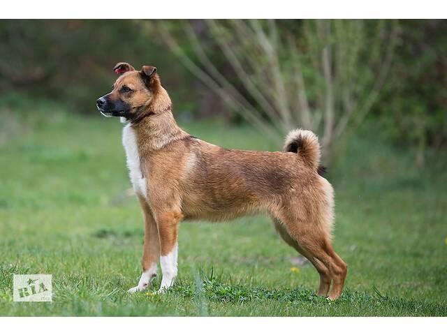 продам Отдам в хорошие руки юную небольшую собачку Шастю . бу в Киеве