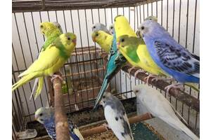 Папуги Хвилясті