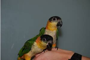 Популярний папуга Каик, ручної каик продаж, годованці