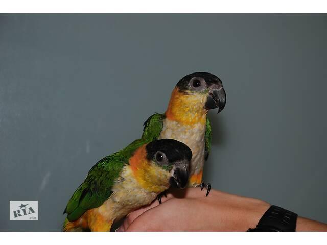 бу Популярный попугай Каик, ручной каик продажа, выкормыши в Киеве