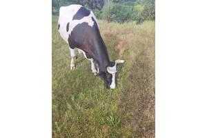Продаётся ласковая, добрая корова