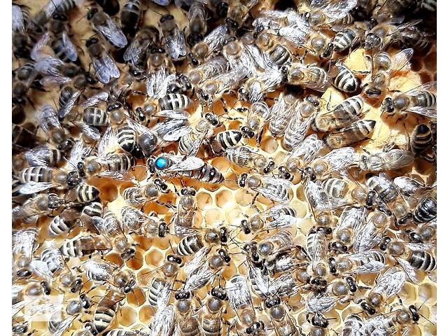 продам Продам пчеломатки бу в Хусте