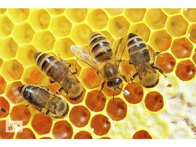 продам Продам бджолосім'ї бу в Бердичеві