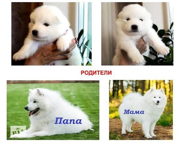 Продается чистопородный щенок породы Самоед- объявление о продаже  в Кременчуге