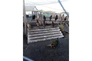 Продам фазанов