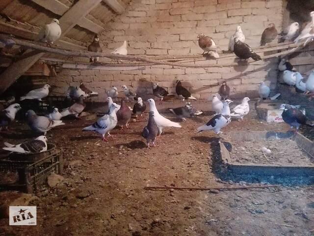 продам Продам голуби молодежи бу в Мостиске