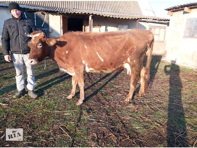 Продам Корову после 5 отёла- объявление о продаже  в Березовке