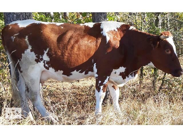 купить бу Продам корову в Вінниці